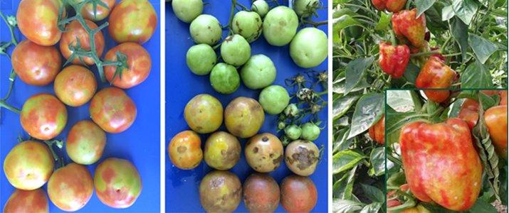 Tomato Brown Rugose Fruit Virus