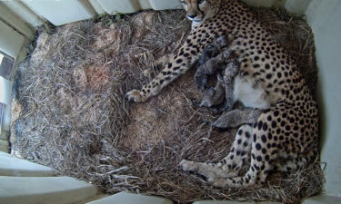 Animal lovers can see the new cubs via a live webcam.